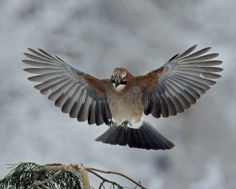 Vol eurasien de geai contre une branche de pin d'hiver photo stock