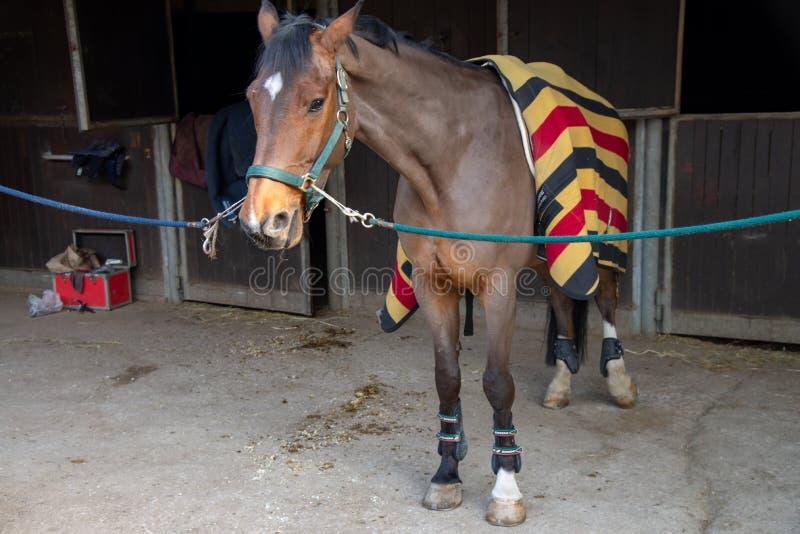 Vol figuur van een mooi bruin paard, gaat hij buiten zijn stal worden voorbereid stock foto's