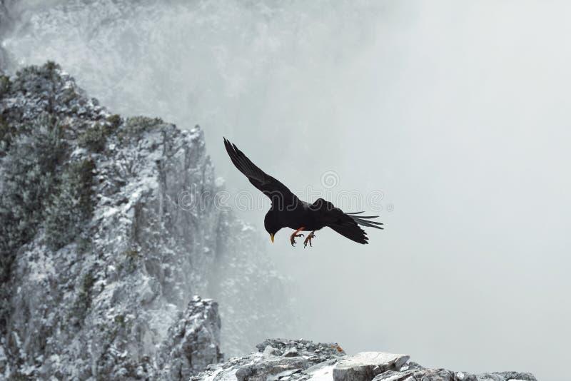 Vol noir d'oiseau entre les roches avec la crête neigeuse en nuages, la haute de faune dans les montagnes, chasse et danger, extr images libres de droits
