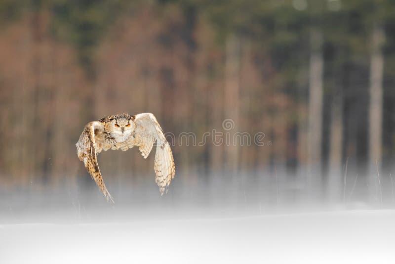 Vol oriental d'Eagle Owl de Sibérien en hiver Beau hibou de Russie volant au-dessus du champ neigeux Scène d'hiver avec rare maje photo libre de droits