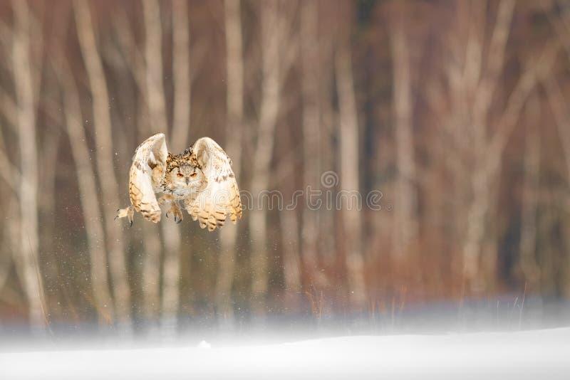 Vol oriental d'Eagle Owl de Sibérien en hiver Beau hibou de Russie volant au-dessus du champ neigeux Scène d'hiver avec rare maje photographie stock