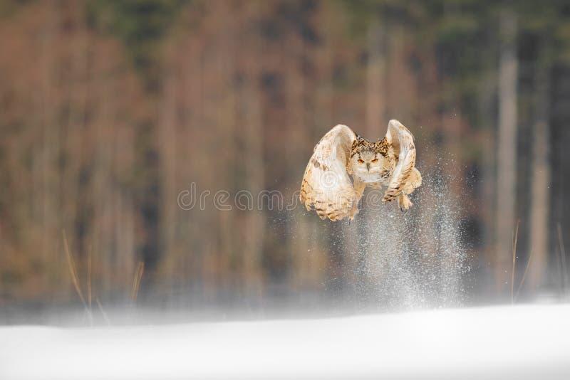 Vol oriental d'Eagle Owl de Sibérien en hiver Beau hibou de Russie volant au-dessus du champ neigeux Scène d'hiver avec rare maje photographie stock libre de droits
