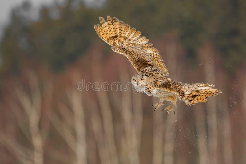 Vol oriental d'Eagle Owl de Sibérien en hiver Beau hibou de Russie volant au-dessus du champ neigeux Scène d'hiver avec rare maje images libres de droits