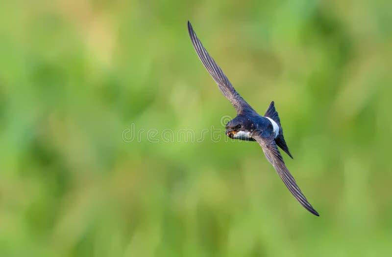 Vol rapide commun de Martin de maison en air avec la nourriture dans le bec photographie stock