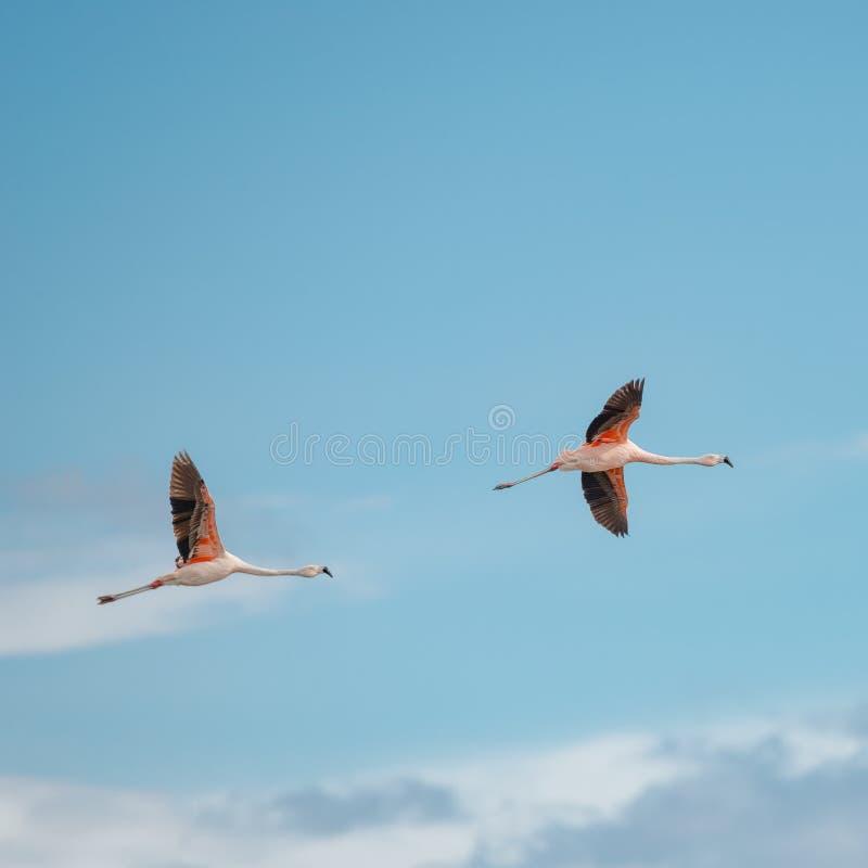 Vol Rosy Flamingos à la région de réservation d'oiseaux de Nimez, Patagonia photos stock