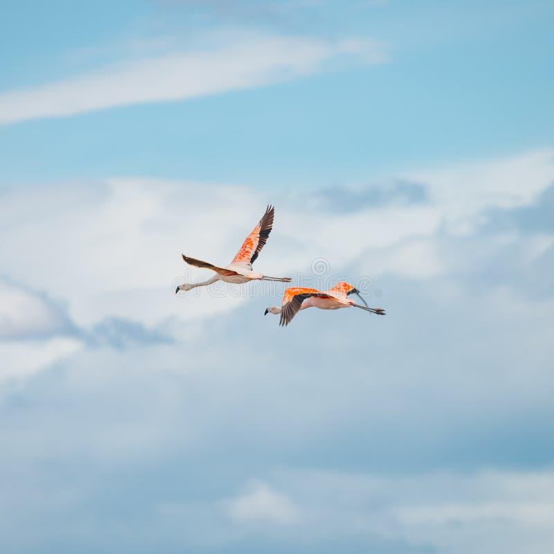 Vol Rosy Flamingos à la région de réservation d'oiseaux de Nimez, Patagonia image stock