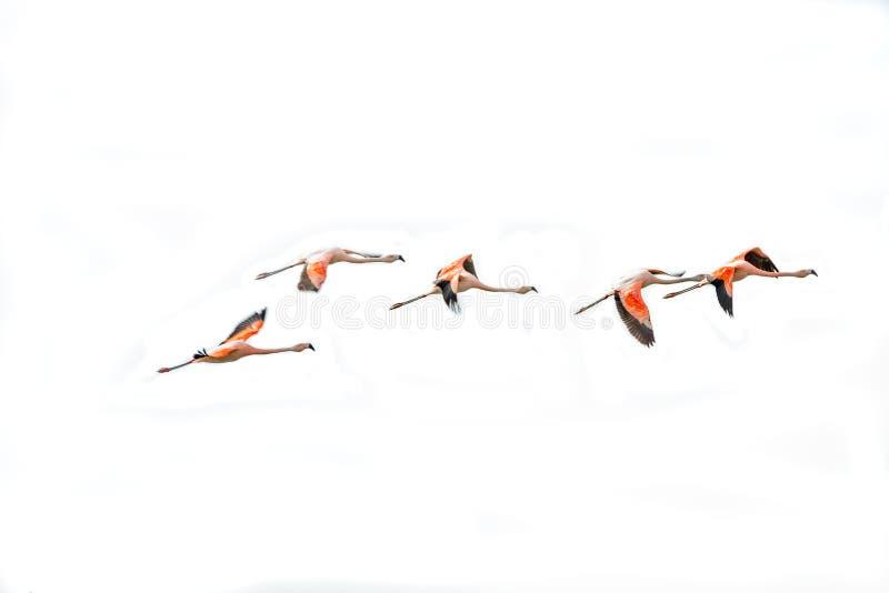 Vol Rosy Flamingos à la région de réservation d'oiseaux de Nimez, Patagonia photo libre de droits