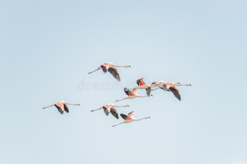 Vol Rosy Flamingos à la région de réservation d'oiseaux de Nimez, Patagonia photos libres de droits