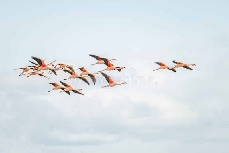 Vol Rosy Flamingos à la région de réservation d'oiseaux de Nimez, Patagonia images stock