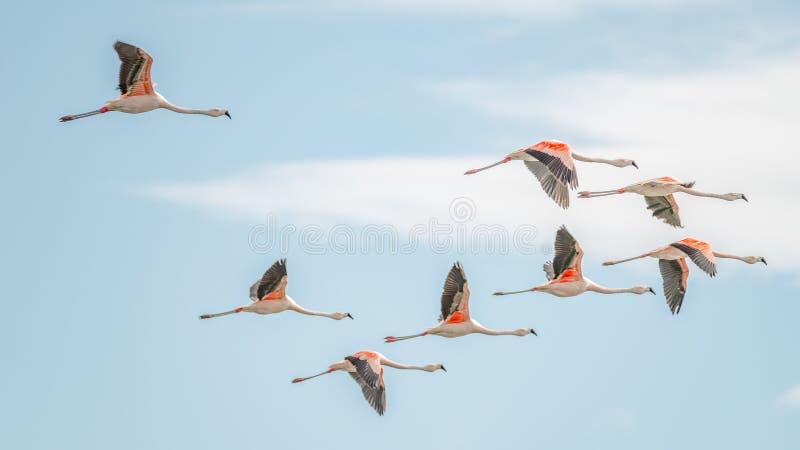 Vol Rosy Flamingos à la région de réservation d'oiseaux de Nimez, Patagonia images libres de droits