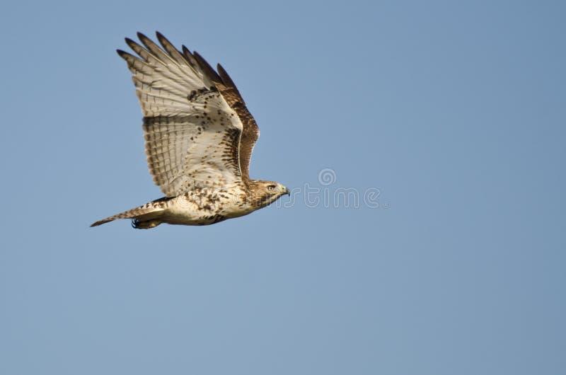 Vol Rouge-Suivi de faucon en ciel bleu photos stock