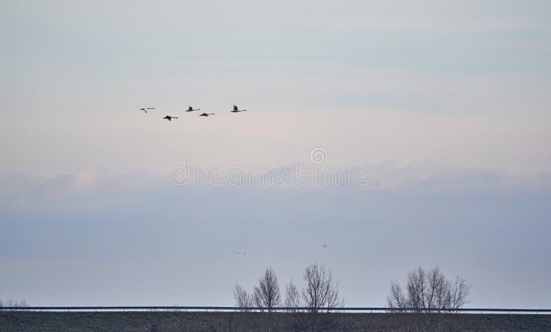 Vol sauvage d'oie photographie stock libre de droits