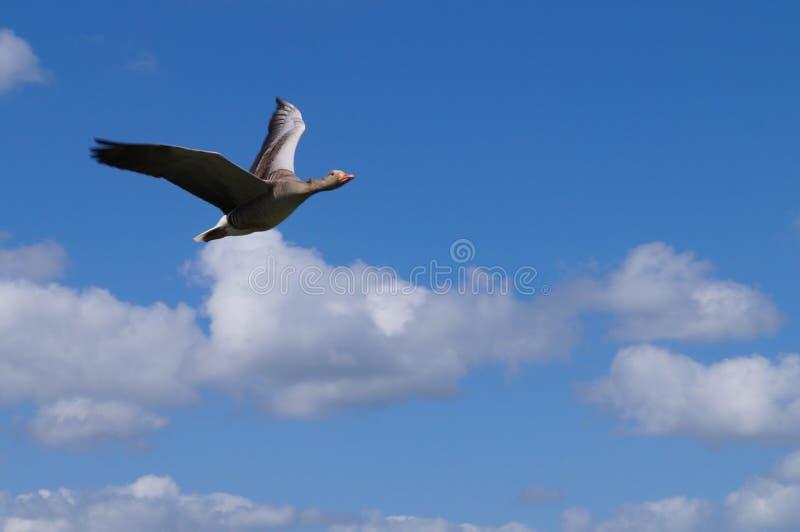 Vol sauvage d'oie dans le ciel photographie stock libre de droits