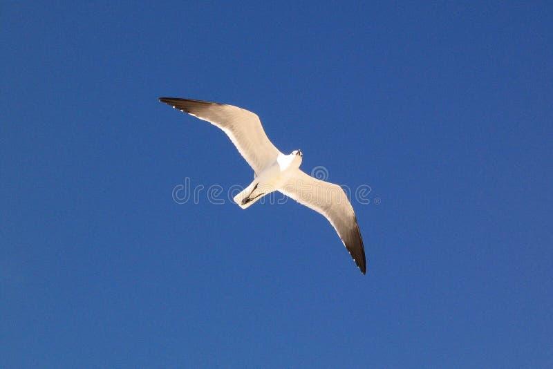 Oiseau de mouette en vol photographie stock libre de droits