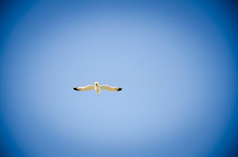 Vol Seagul images libres de droits