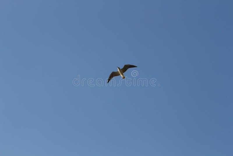 Vol simple de mouette en ciel clair bleu Côte de l'Ukraine, la Mer Noire photos libres de droits