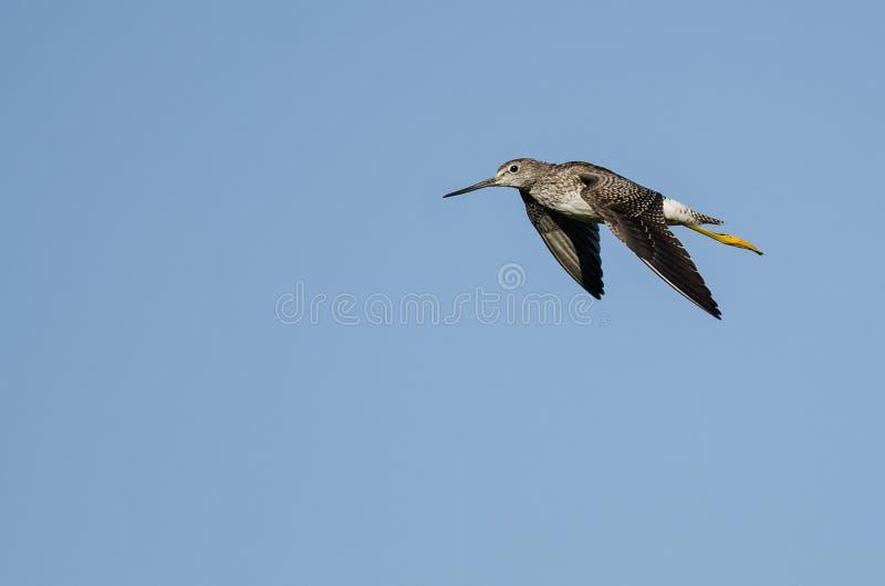Vol solitaire de bécasseau dans un ciel bleu image libre de droits