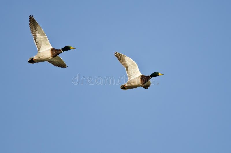 Vol synchronisé démontré par deux canards de Mallard photographie stock
