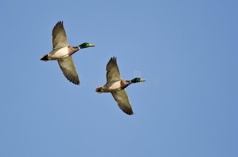 Vol synchronisé démontré par deux canards de Mallard photo libre de droits