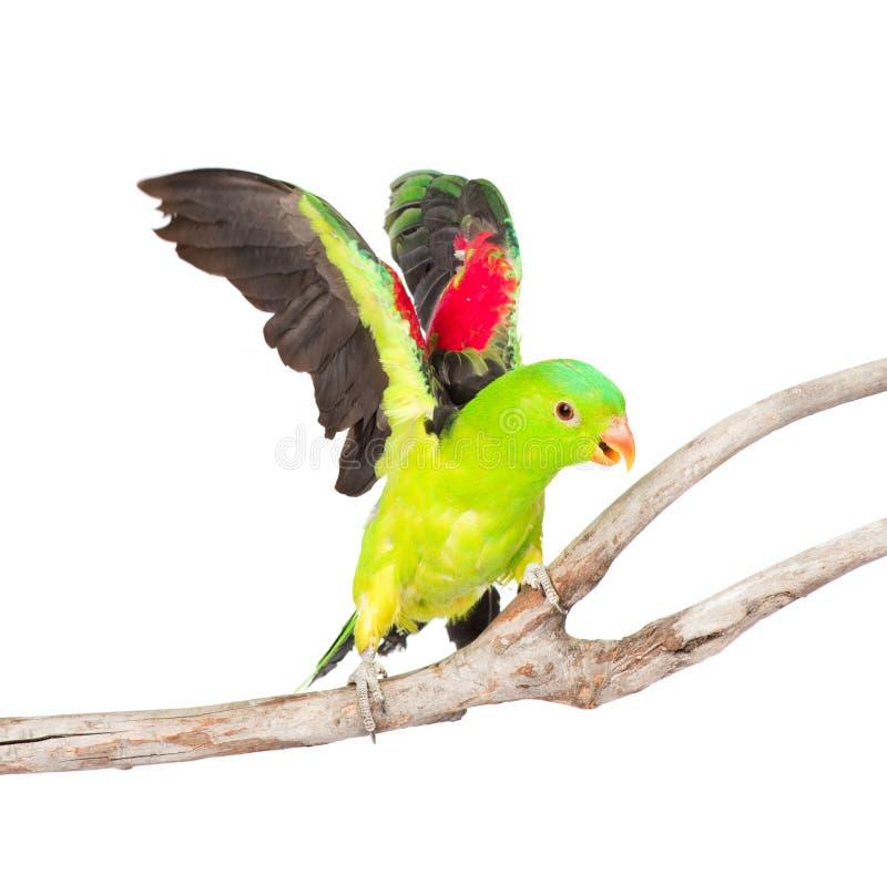 Volando sul pappagallo ad ali rosse (erythropterus di Aprosmictus) Isolato fotografia stock libera da diritti