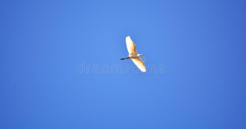 Volata bianca degli uccelli immagine stock libera da diritti