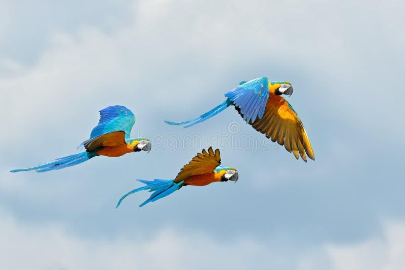 Volata di pappagallo di mannaia Il pappagallo in volo Ara arauna sul syk blu a Pantanal, Brasile La scena di Action Wildlife from fotografia stock libera da diritti
