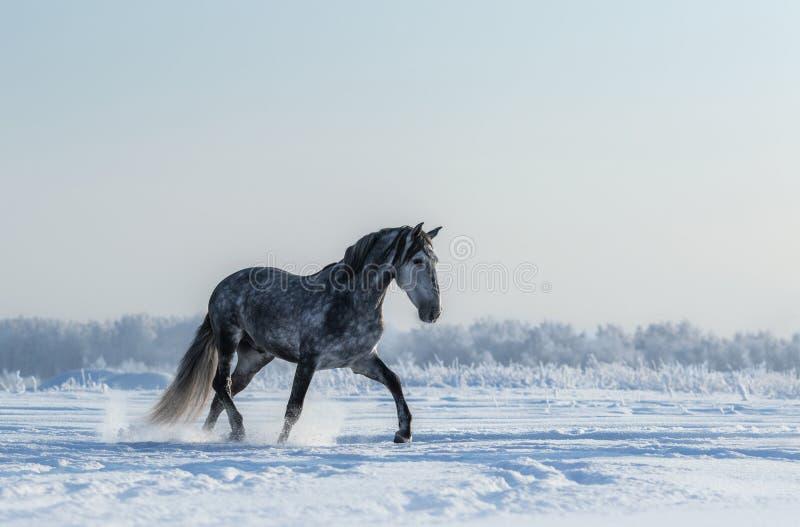 Volbloed- Spaanse grijze paardgangen op vrijheid royalty-vrije stock afbeeldingen