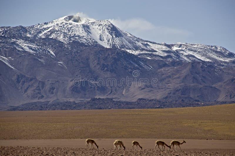 Volcán que fuma en Atacama, Chile, con vicuña imagenes de archivo