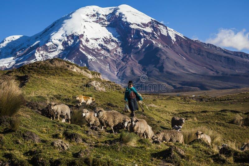 Volcán y ovejas de Chimborazo imagenes de archivo