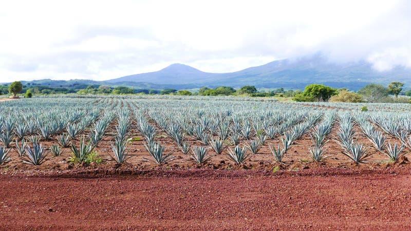 Volcan de Текила в Мексике стоковые фотографии rf