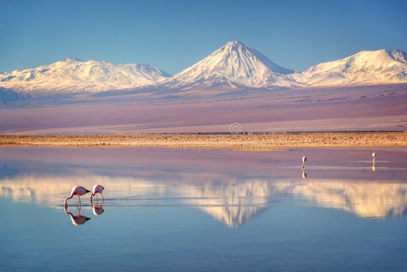 Volcan de Milou Licancabur dans des montains des Andes se reflétant dans le wate de Laguna Chaxa avec des flamants, Atacama Salar image libre de droits