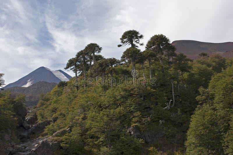 Volcan Llaima nel parco di nacional di Conguillo, Cile immagini stock