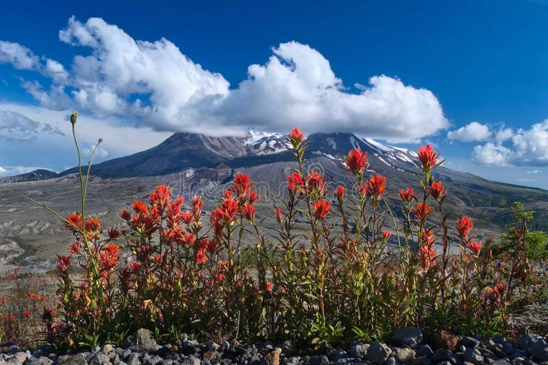 Volcanic landscape  with wildflowers and puffy clouds. 40 years after eruption of Mount St Helens in Washington. View from Johnston Ridge Observatory. Cougar royalty free stock photography