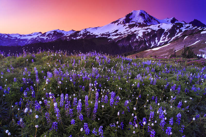 Volcano and flowers in stunning color. Sunset over a valley of beautiful flowers with a snowy mountain peak in the distance stock photo