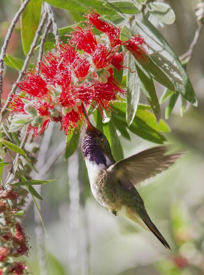 Volcano Hummingbird royaltyfria bilder