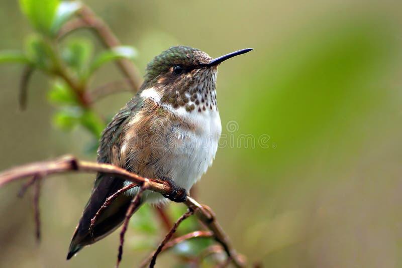 Volcano Hummingbird royaltyfri bild