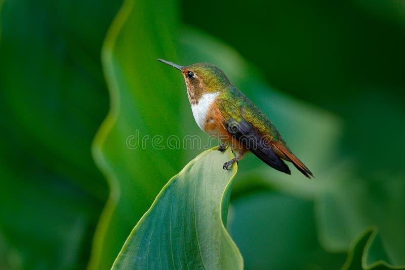 Volcano Hummingbird Selasphorus flammula, kvinnlig av den lilla fågeln på de gröna sidorna, djur i naturlivsmiljön, bergvändkrets arkivbilder