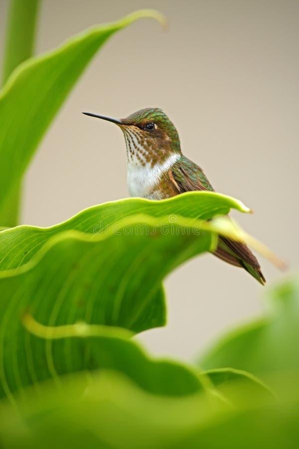 Volcano Hummingbird Selasphorus flammula, liten fågel i de gröna sidorna, Costa Rica royaltyfri bild