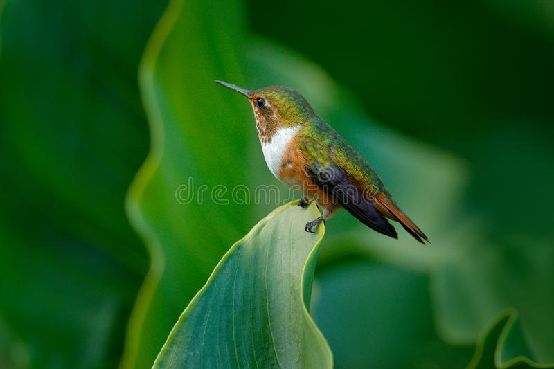 Volcano Hummingbird, Selasphorus-flammula, wijfje van kleine vogel op de groene bladeren, dier in de aardhabitat, bergkeerkring stock afbeeldingen