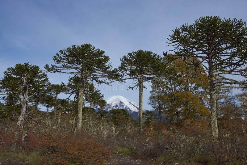 Volcano Llaima i den Conguillio nationalparken, Chile royaltyfri fotografi