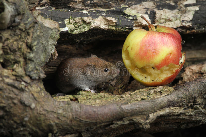 Vole τράπεζας glareolus Clethrionomys με ένα μήλο που έχει φάει στοκ φωτογραφία με δικαίωμα ελεύθερης χρήσης