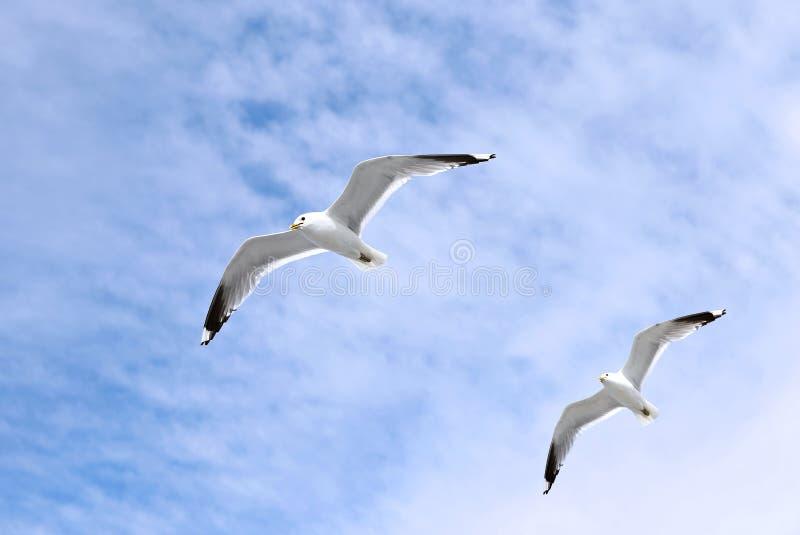 Voler blanc méditerranéen de deux mouettes photo libre de droits