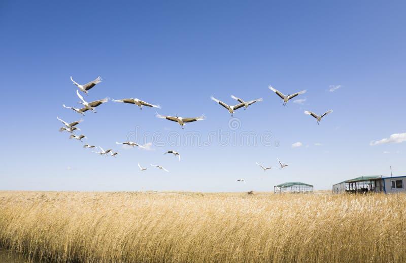 Voler d'oiseaux photo stock