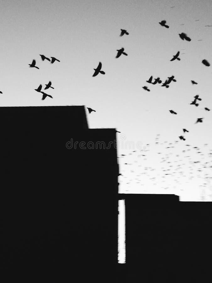 Voler d'oiseaux noir et blanc image libre de droits