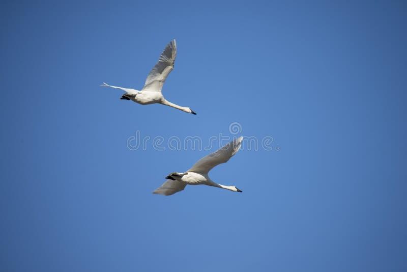Voler de cygnes de trompettiste (Cygnus buccinator) photo libre de droits
