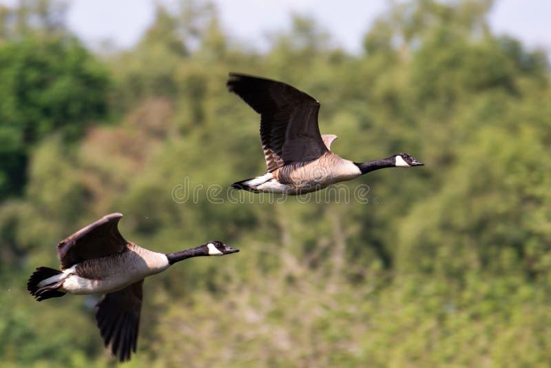 Voler de deux oies du Canada images libres de droits