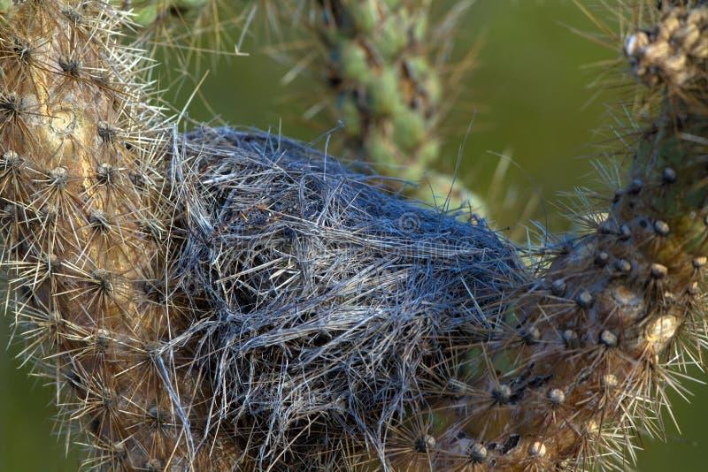 Volgende van een Cactuswinterkoninkje in een Cholla-cactus in de Woestijn van Arizona ` s Sonoran royalty-vrije stock afbeelding