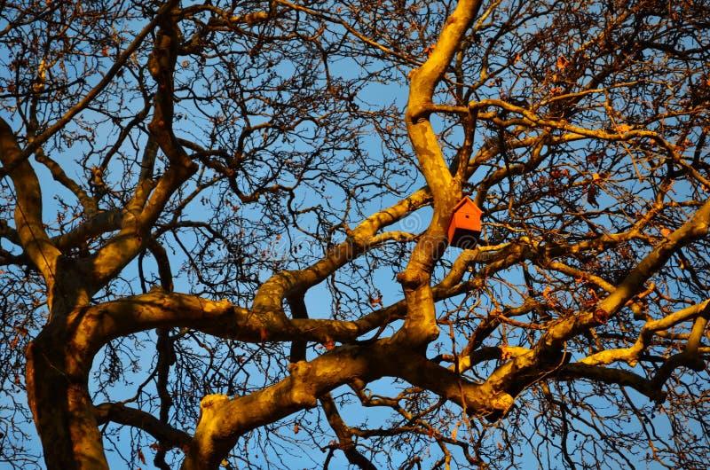 Volière dans les branches de l'arbre de sycomore images stock