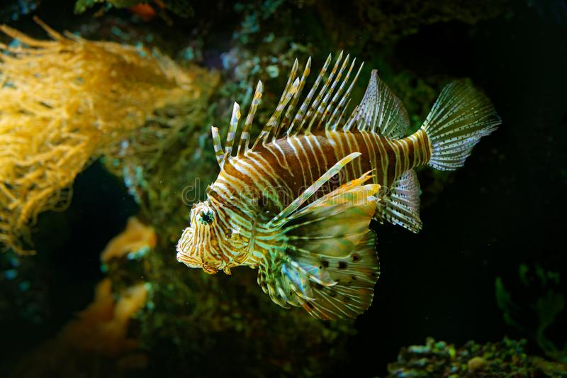 Volitans de Pterois, Lionfish rouge, poisson de poison de danger dans l'eau de mer Poissons de lion dans l'habitat d'océan de nat images libres de droits