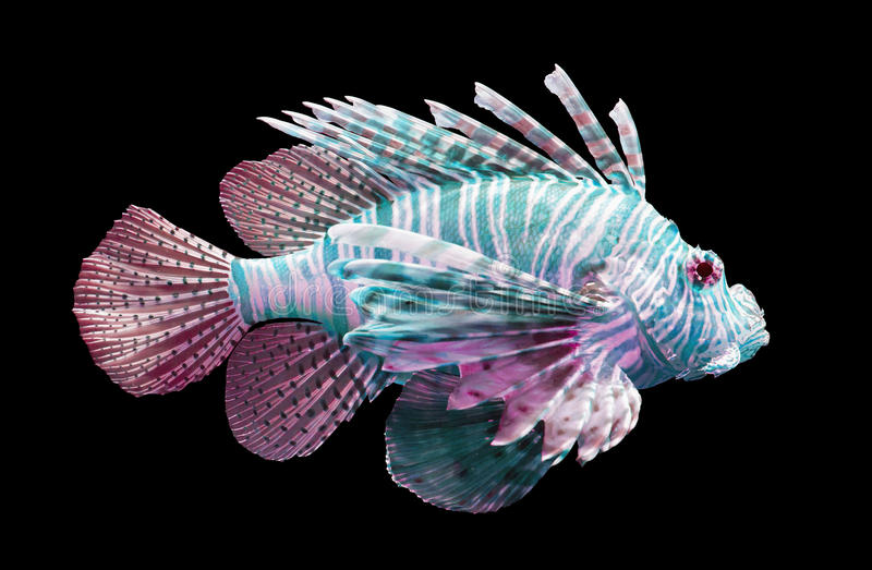Volitans do Pterois, Lionfish - isolado no preto fotografia de stock
